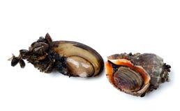 Мидии реки (Anodonta) и veined rapa whelk Стоковые Изображения