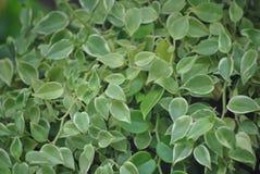Миллион ruscifolia Dischidia листьев сердца Стоковое Фото