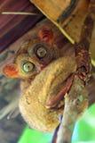 Милое более tarsier усаживание на дереве Стоковое Изображение