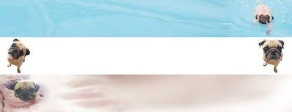 Милое знамя собаки мопса для рекламы сети с космосом экземпляра для текста Стоковые Фотографии RF