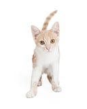 Милое отечественное положение котенка Shorthair Стоковые Фото