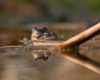 2 милое причаливают смотреть arvalis Раны лягушек Стоковое фото RF