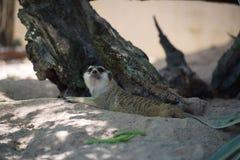 Милое Худеньк-замкнутое Meerkats на песке в зоопарке Стоковая Фотография