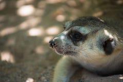 Милое Худеньк-замкнутое Meerkats на песке в зоопарке Стоковое Фото