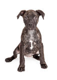 Милое Brindle усаживание щенка Стоковое Фото