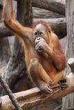 Милое orang utan Стоковое Изображение RF
