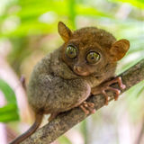 Милое tarsier в Bohol Стоковые Изображения RF