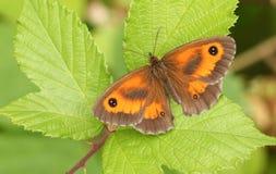 Милое tithonus Pyronia бабочки привратника садилось на насест на лист Стоковые Изображения