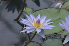 Милой покрашенная лавандой лилия воды в саде воды Стоковые Изображения RF