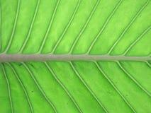 Мидриб и вены в лист Стоковые Изображения RF