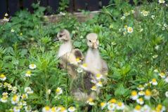 Милые гусыни младенца в поле стоцвета Стоковые Изображения RF