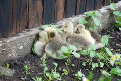 Милые гусыни младенца в поле стоцвета Стоковое Изображение RF