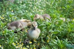 Милые гусыни младенца в поле стоцвета Стоковые Фотографии RF