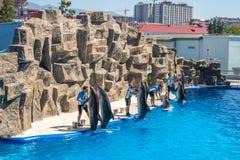 Милые дельфины во время речи на dolphinarium, Батуми, Geo Стоковое фото RF