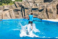Милые дельфины во время речи на dolphinarium, Батуми, Geo Стоковая Фотография