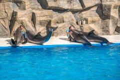 Милые дельфины во время речи на dolphinarium, Батуми, Geo Стоковое Изображение