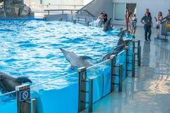 Милые дельфины во время речи на dolphinarium, Батуми, Geo Стоковое Фото