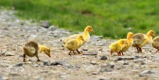 Милые желтые гусята Стоковое Изображение