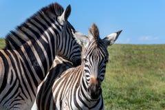 Милые зебры, восточная накидка, Южная Африка Стоковое Изображение RF