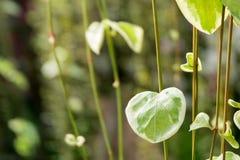 Милые листья зеленого цвета в естественной форме сердца предпосылка завода цвета растительности Стоковое фото RF