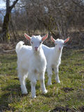 Милые козы младенца Стоковые Фотографии RF
