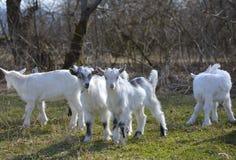 Милые козы младенца Стоковое Изображение RF