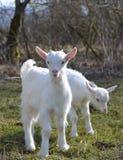 Милые козы младенца Стоковая Фотография RF