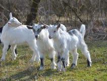 Милые козы младенца Стоковое Фото