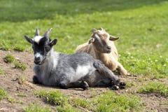 Милые козы на зеленом луге Стоковые Изображения