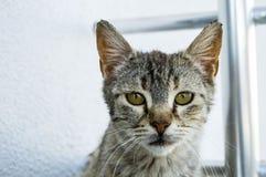 Милые коты, люди любя и целуя кота, самые красивые глаза большой кошки, Стоковая Фотография