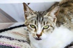 Милые коты, люди любя и целуя кота, самые красивые глаза большой кошки, Стоковое Изображение RF