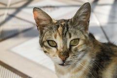 Милые коты, люди любя и целуя кота, самые красивые глаза большой кошки, Стоковые Изображения RF