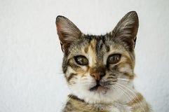 Милые коты, люди любя и целуя кота, самые красивые глаза большой кошки, Стоковые Фото