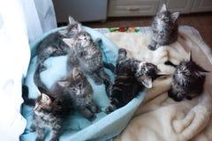Милые котята енота Мейна голубые и покрашенная черная лежать в софе сини ` s кота Стоковые Фото