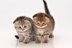 Милые котята створки scottish Стоковое Изображение RF