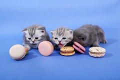 Милые котята с macarons Стоковая Фотография