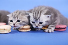 Милые котята с macarons Стоковое фото RF