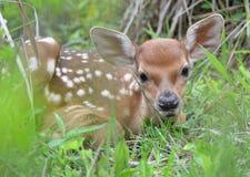 Милые маленькие олени Стоковые Фотографии RF