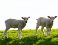 милые овечки 2 Стоковые Фотографии RF