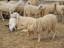милые овцы Стоковое фото RF