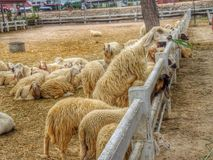 милые овцы Стоковые Фото