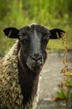 Милые овцы Стоковое Изображение RF