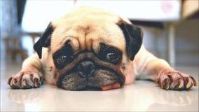 Милые остатки спать собаки щенка мопса подбородком и языком вставляя вне лежали вниз на плиточном поле сток-видео