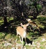 милые олени в ископаемом зоопарке живой природы оправы стоковая фотография