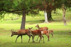 Милые олени в парке Nara стоковое фото rf