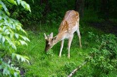 милые олени Стоковые Изображения