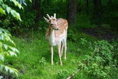 милые олени Стоковое Изображение RF