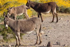 Милые одичалые Burros в Аризоне Стоковые Изображения RF