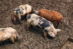 Милые пакостные поросята на ферме Стоковая Фотография