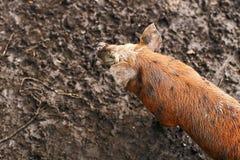 Милые пакостные поросята на ферме Стоковое Фото